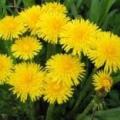 Весенняя зелень для стройности и здоровья
